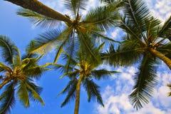 Olhando acima palmeiras em Havaí Imagens de Stock