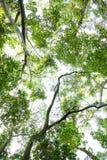 Olhando acima a perspectiva da floresta Imagem de Stock Royalty Free