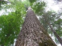 Olhando acima uma árvore Imagem de Stock