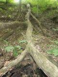 Olhando acima uma árvore tragada Imagem de Stock