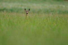 Olhando cervos Imagem de Stock