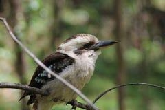Olhando Kookaburra Fotos de Stock