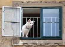 Olhando o cão Fotografia de Stock Royalty Free