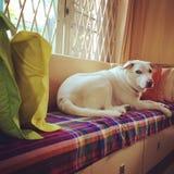 Olhando o cão foto de stock royalty free