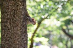 Olhando o esquilo Imagem de Stock Royalty Free
