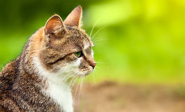 Olhando o gato na grama Fotografia de Stock Royalty Free