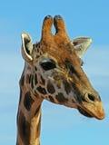 Olhando o giraffe Fotografia de Stock Royalty Free