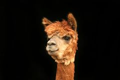 Olhando o Lama fotos de stock