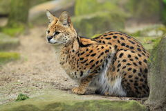 Olhando o serval Fotos de Stock Royalty Free