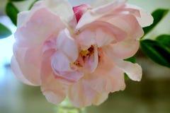 Olhando a pétala cor-de-rosa Foto de Stock Royalty Free