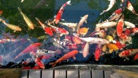 Olhando peixes do koi na ponte de madeira Fotos de Stock Royalty Free