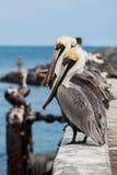 Olhando pelicanos Fotografia de Stock