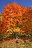 Olhando Sugar Maple em cores da queda Fotografia de Stock