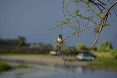 Olhando um pássaro em Botswana, trovão no fundo Fotos de Stock