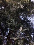 Olhar acima à coroa de árvores de eucalipto velhas da árvore de eucalipto foi introduzida a Califórnia e é considerada invasora fotografia de stock