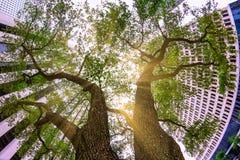 Olhar acima em direção ao céu entre duas árvores majestosas aninhou-se em um bloco de cidade imagem de stock