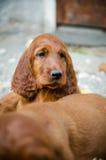 Olhar agradável do cachorrinho pequeno recém-nascido do setter irlandês Fotografia de Stock Royalty Free