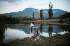 Olhar azul preto e branco de mármore de border collie no lago fotografia de stock royalty free