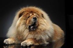 Olhar bonito de Chow Chow como um leão, encontrando-se em um flo escuro do estúdio Imagem de Stock