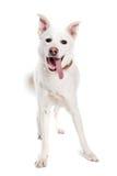 Olhar branco do cão na câmera Foto de Stock