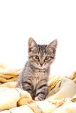 Olhar cinzento pequeno do gatinho na câmera em uma cobertura amarela macia Fotos de Stock