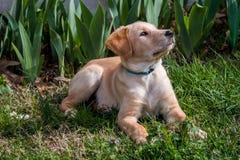 Olhar curioso do filhote de cachorro imagens de stock royalty free