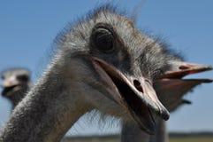 Olhar da avestruz Imagem de Stock Royalty Free