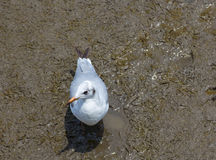 Olhar da gaivota deixado na costa Imagem de Stock