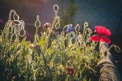 olhar da papoila de arbusto bonito Fotos de Stock Royalty Free