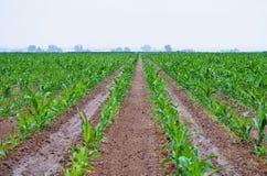Olhar da perspectiva abaixo de algumas fileiras do milho Imagem de Stock Royalty Free