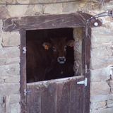 Olhar da vaca Imagem de Stock