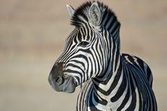 Olhar da zebra. Imagens de Stock Royalty Free