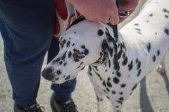 Olhar Dalmatian do cão imagem de stock