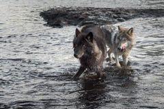 Olhar de Grey Wolves (lúpus de Canis) para fora do rio foto de stock