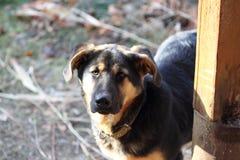 Olhar do cão Foto de Stock Royalty Free
