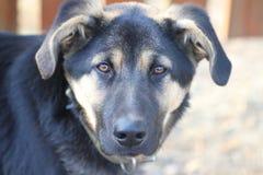 Olhar do cão Fotografia de Stock
