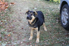 Olhar do cão Imagens de Stock Royalty Free