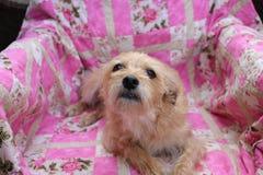 Olhar do cachorrinho Fotos de Stock Royalty Free
