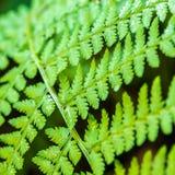 Olhar do close up da samambaia na floresta Fotografia de Stock