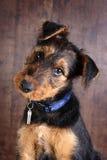 Olhar do filhote de cachorro Imagem de Stock