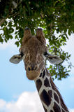 Olhar do girafa Fotos de Stock Royalty Free