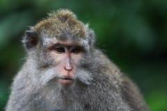 Olhar do macaco Fotografia de Stock