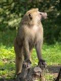 Olhar do macaco Foto de Stock Royalty Free