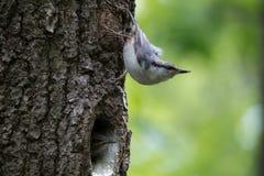 Olhar do pica-pau-cinzento do pássaro da floresta ao redor, protetores os filhotes de passarinho Europaea do Sitta do pássaro do  Imagem de Stock