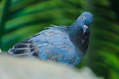 Olhar do pombo fotografia de stock royalty free