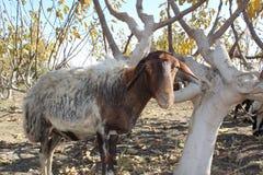 Olhar dos carneiros imagem de stock