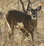Olhar dos cervos em mim Fotos de Stock