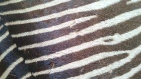 Olhar e sensação reais da pele da zebra Fotografia de Stock