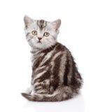 Olhar escocês do gatinho para trás Isolado no fundo branco Fotos de Stock Royalty Free