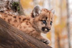 Olhar fêmea do gatinho do puma (concolor do puma) da árvore Fotos de Stock Royalty Free